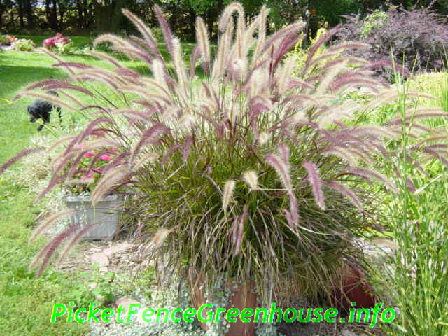 Ornamental grasses for Purple grasses for landscaping