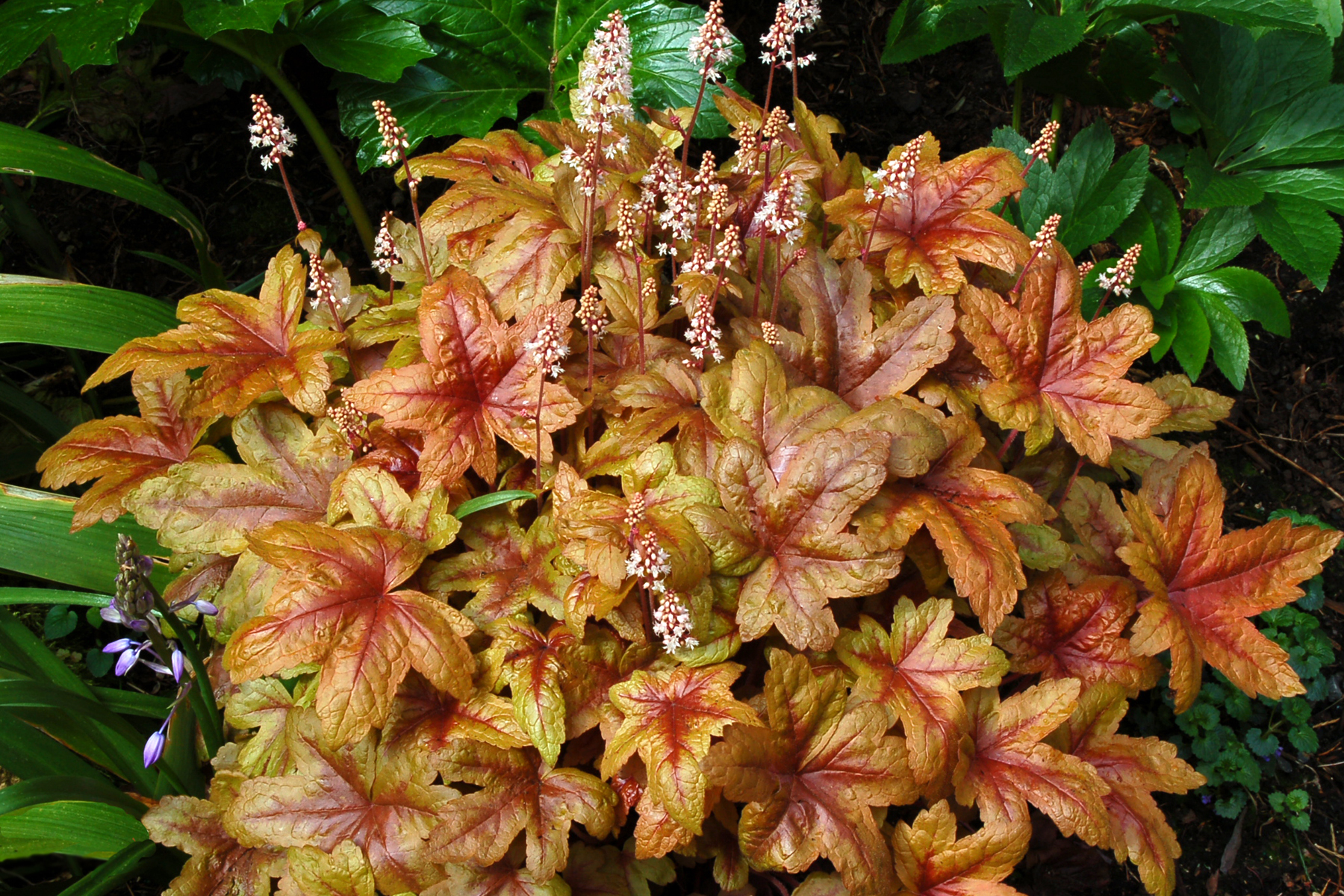 Heuchera Heucherella Species Picket Fence Greenhouse