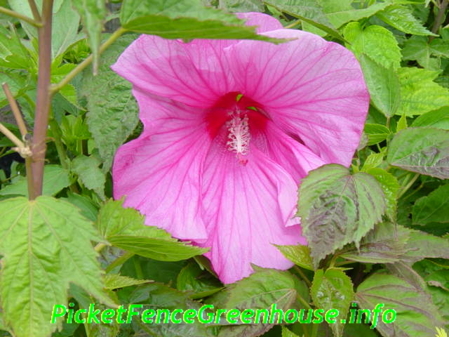 Pink Clouds Hardy Hibiscus Picket Fence Greenhouse Gardens