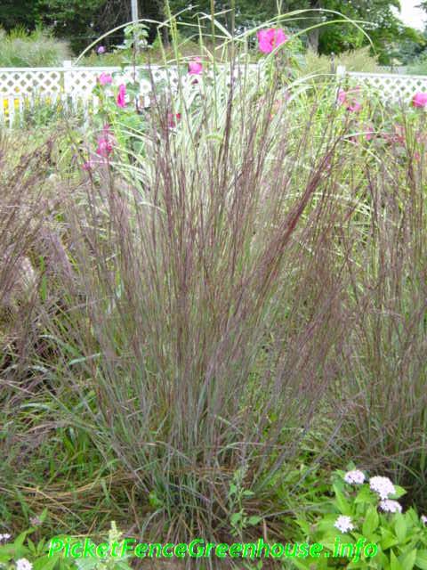 ornamental grasses