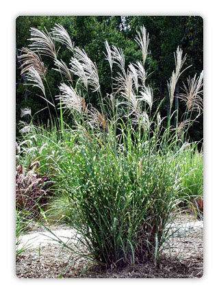 Miscanthus zebra grass beautiful upright clumping for Ornamental grasses with plumes