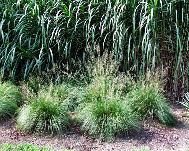 Prairie dropseed archives picket fence greenhouse for Common ornamental grasses