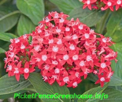 Perennialannual flowers archives page 55 of 55 picket fence butterfly red pentas mightylinksfo
