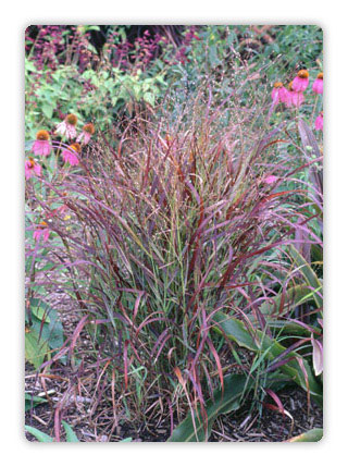 ornamental grasses, Natural flower