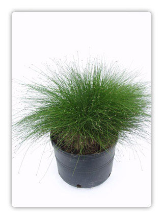 Ornamental grasses for Ornamental grasses that stay green all year
