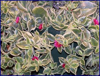 Dorotheanthus Mezoo Aptenia Succulent Trailing Red Flowers