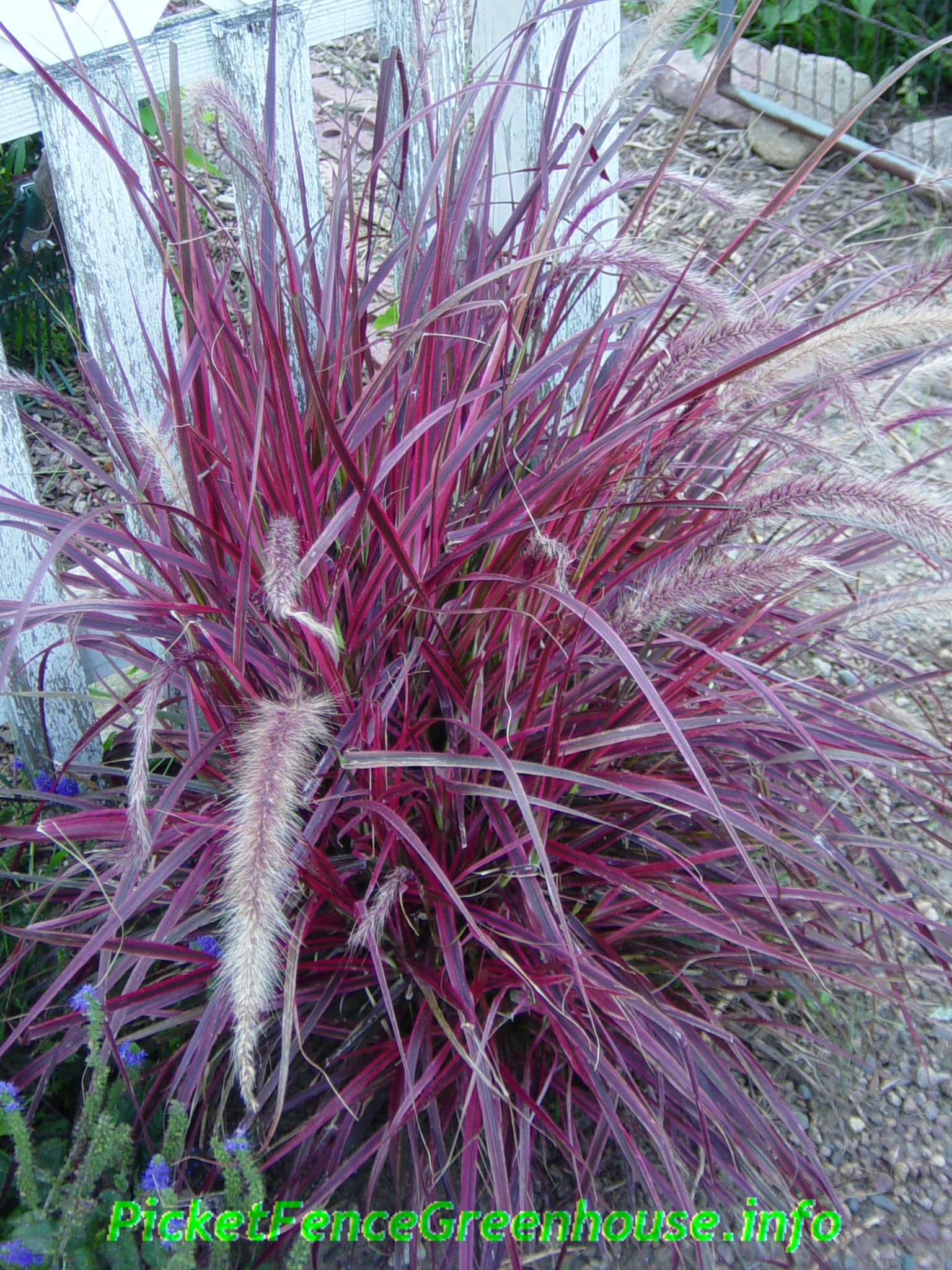 Pennisetum variegated red fountain grass fireworks for Tall red grass