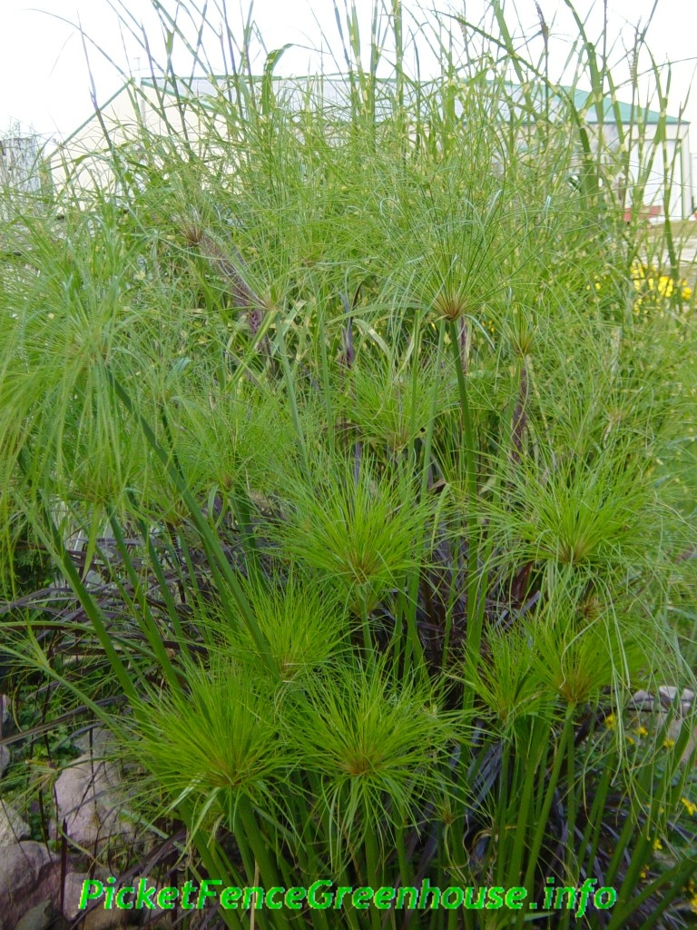 how to grow cyperus egyptian papyrus king tut picket fence greenhouse gardens dianemummvideos. Black Bedroom Furniture Sets. Home Design Ideas