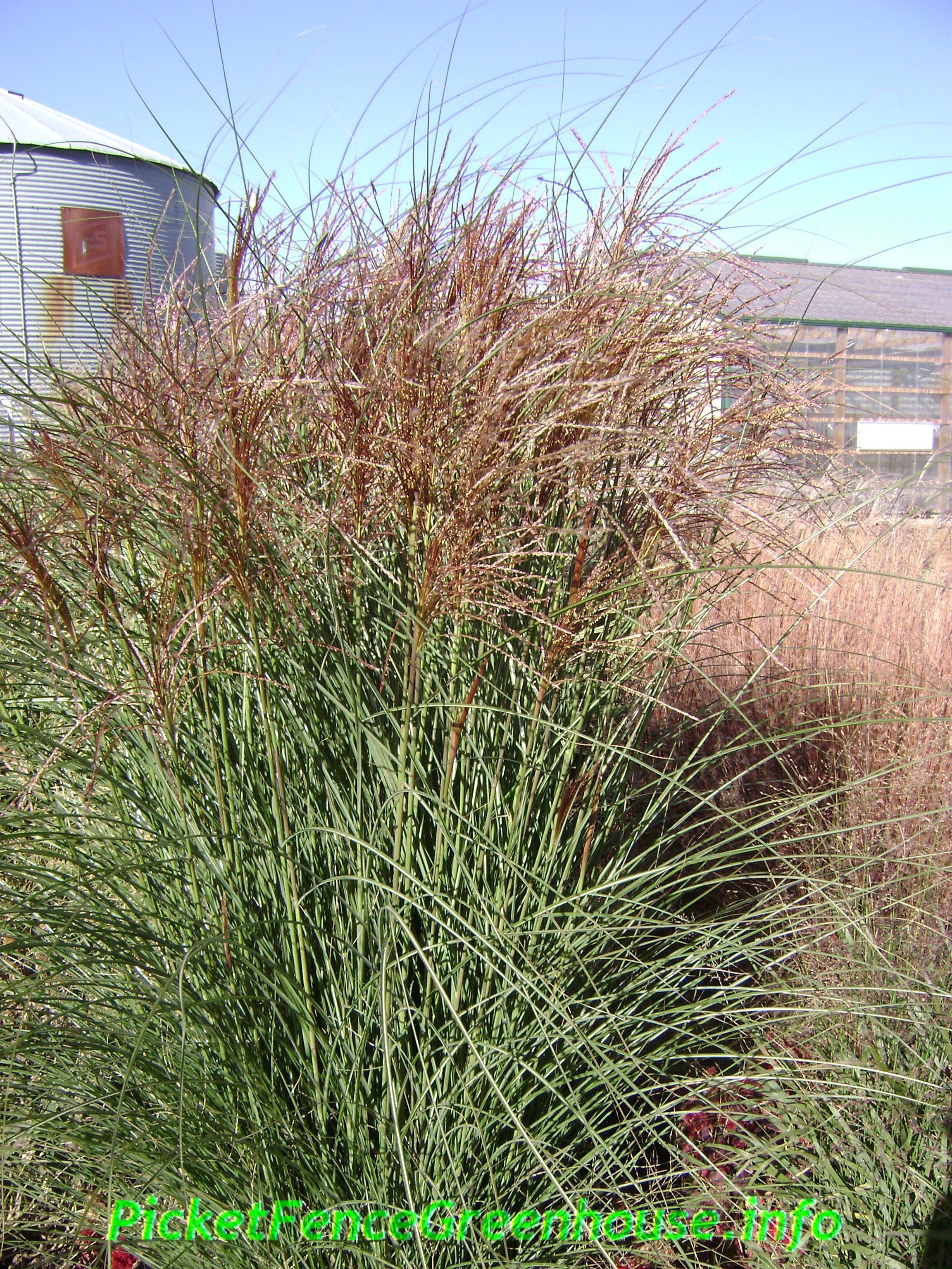 Ornamental grasses zone 5 - Ornamental Grasses