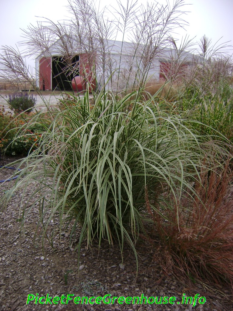 Miscanthus silberpfeil japanese silver arrow picket for Japanese ornamental grass varieties