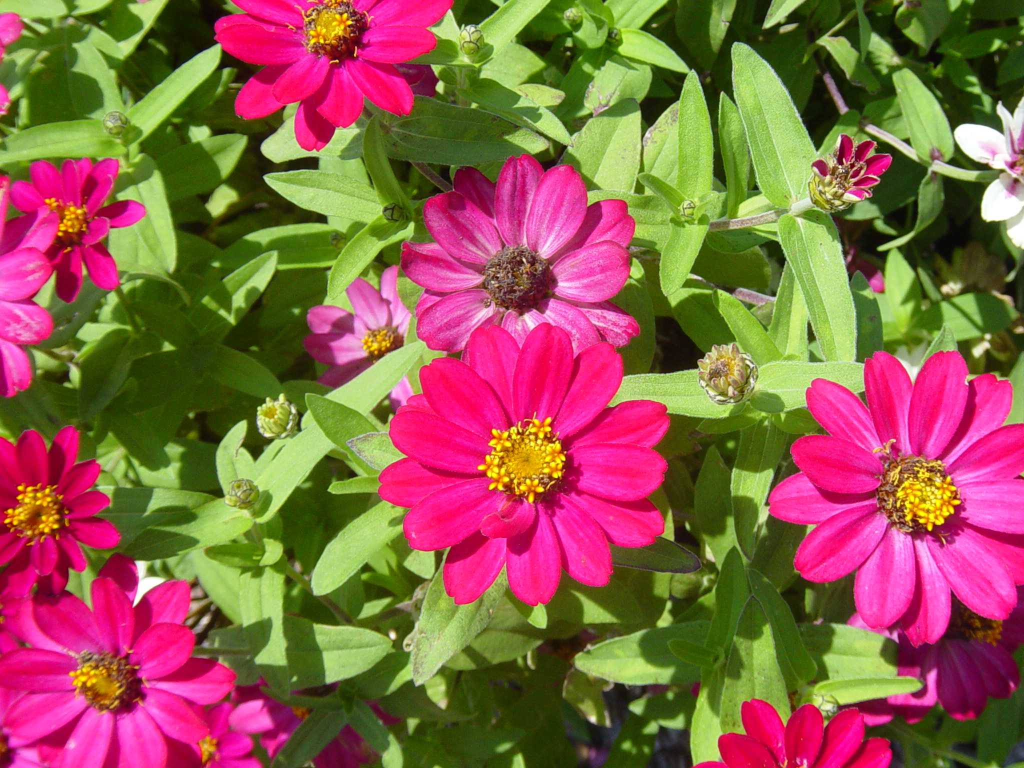 fleuroselect zinnia profusion