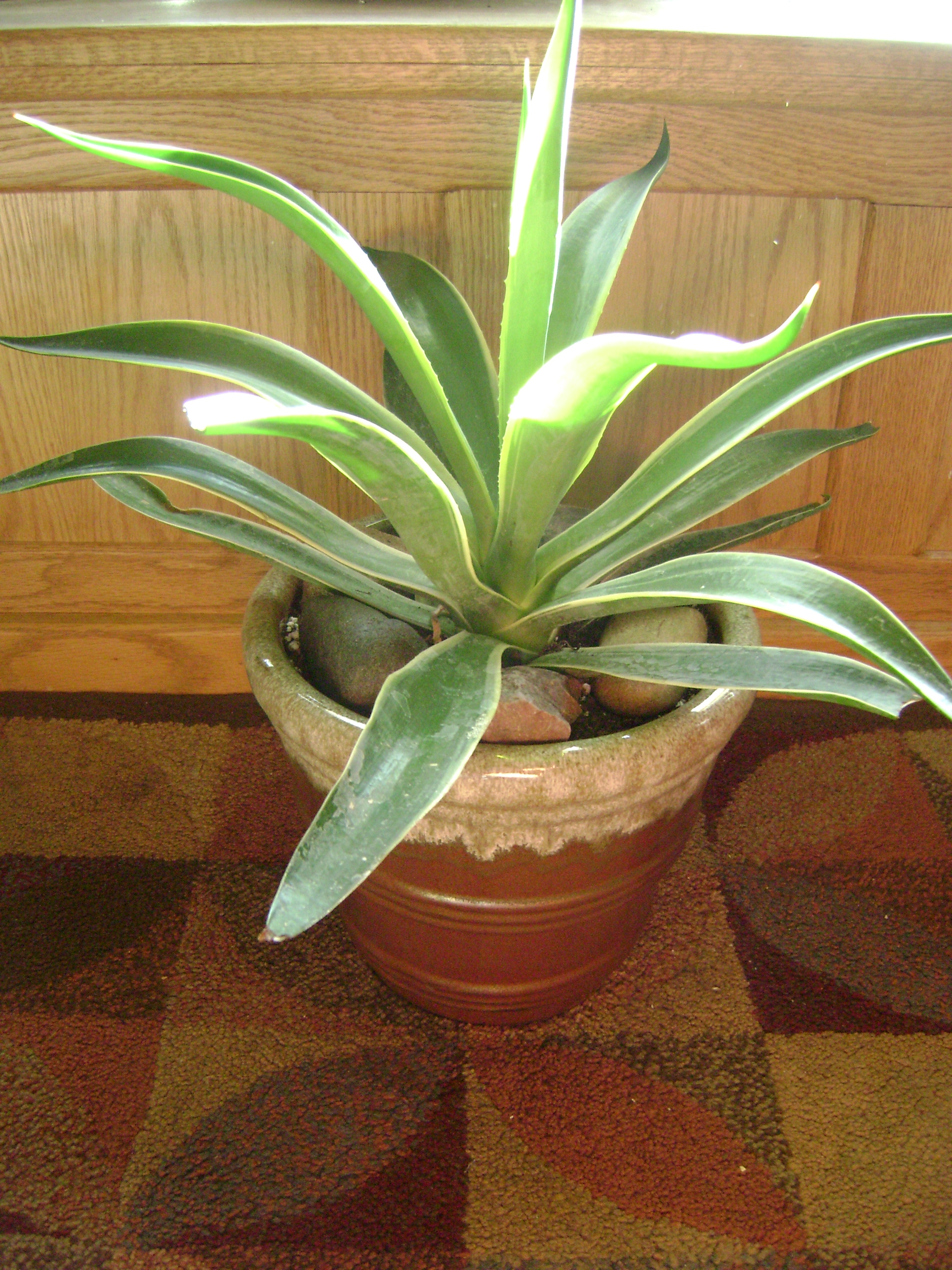How to Grow Agave Desmettiana Variegata is considered a dwarf agave