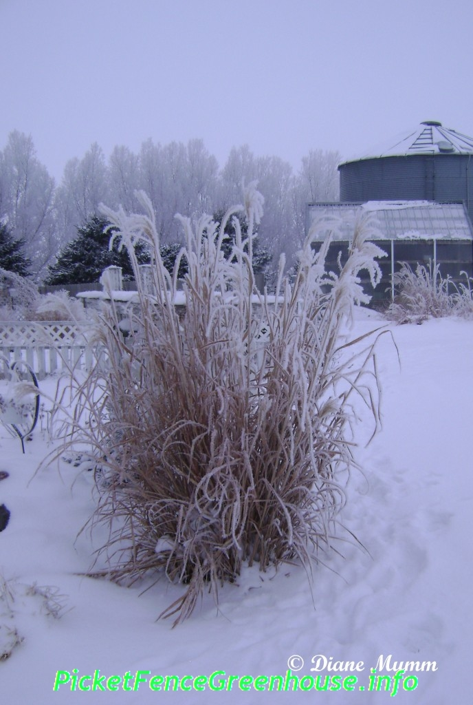 winter interest using ornamental grasses picket fence greenhouse gardens. Black Bedroom Furniture Sets. Home Design Ideas
