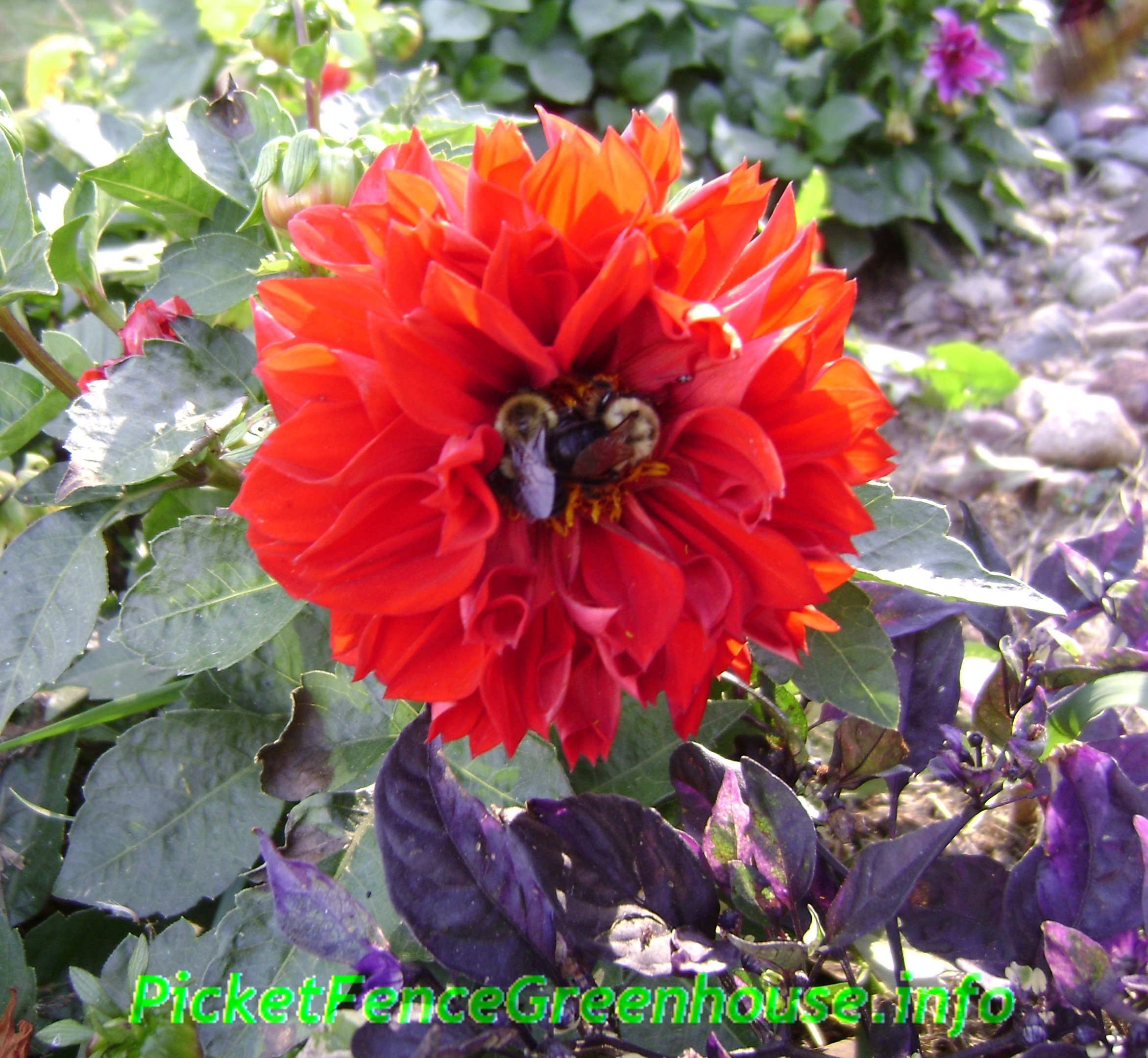 Does dahlias attract bees bubblebees do love open dahlias does dahlias attract bees izmirmasajfo