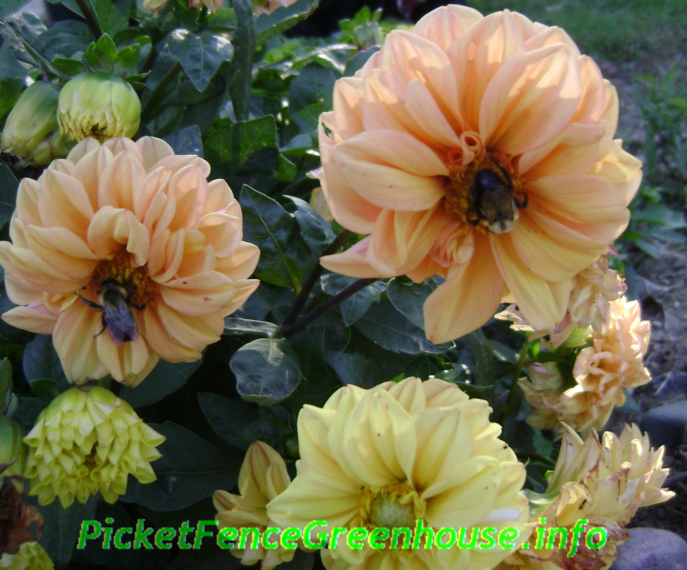 Does dahlias attract bees bubblebees do love open dahlias does dahlias attract bees izmirmasajfo Image collections