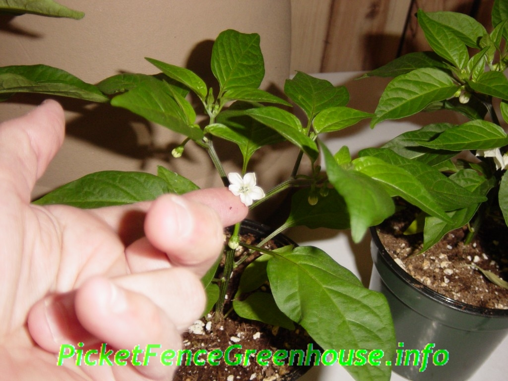 How To Grow Pepper Seeds From Seed Picket Fence