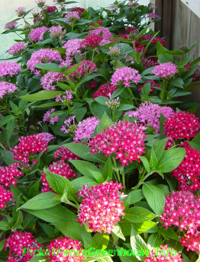 Pentas, the butterfly and hummingbird flower sun loving
