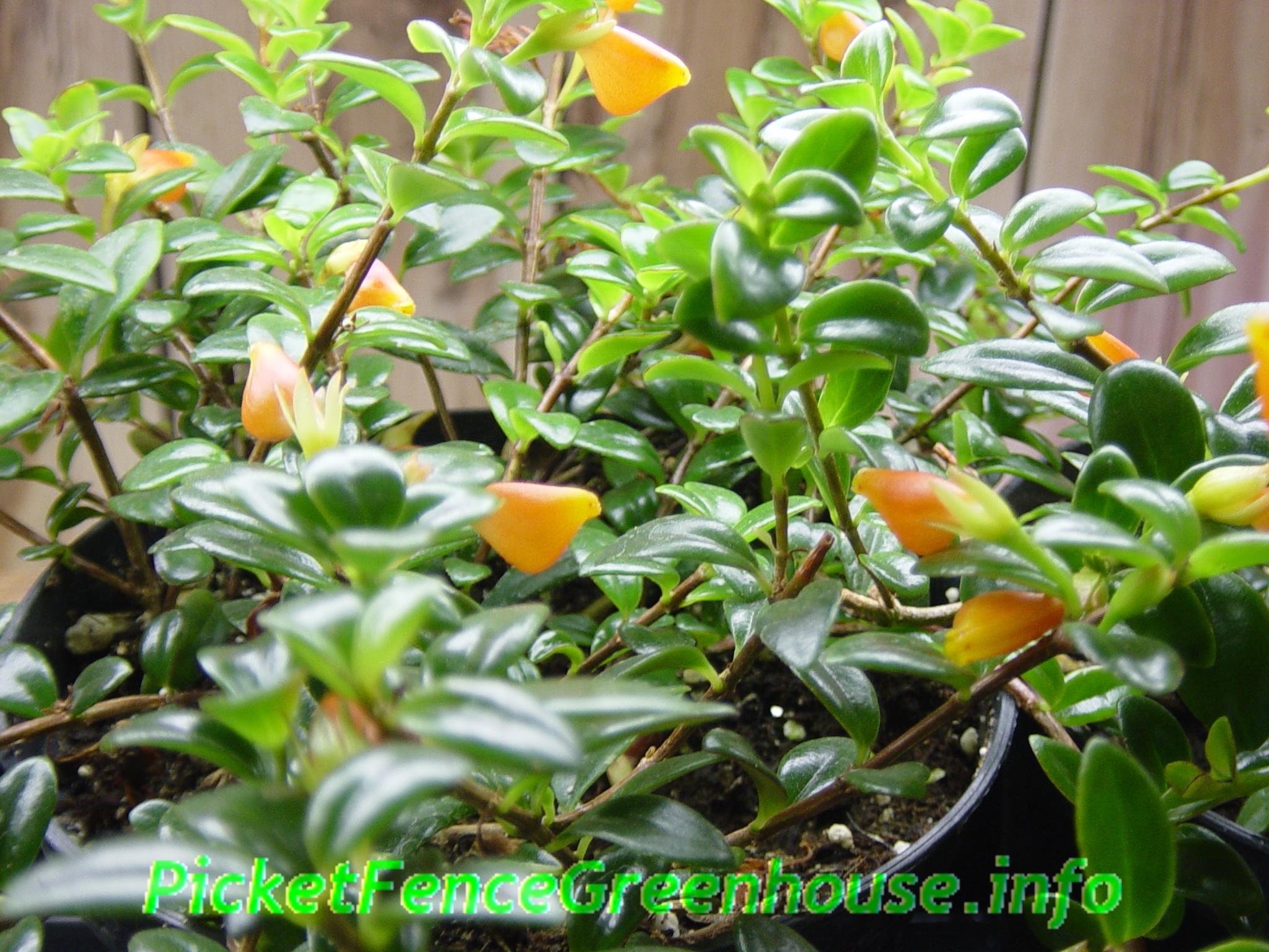 Goldfish Plant 'Black Gold' (Nematanthus hybrid)