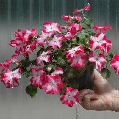 How to Grow Impatiens from Seed Indoors - Picket Fence ... Impatiens House Plant on nasturtium plants, jacobiana plants, alyssum plants, annual dianthus plants, petunia plants, pansies plants, sage plants, perennial flowering shade plants, geranium plants, peony plants, begonia plants, verbena plants, lobelia plants, sedum plants, hibiscus plants, osteospermum plants, annual and perennial plants, coleus plants, fuchsia plants, celosia plants,