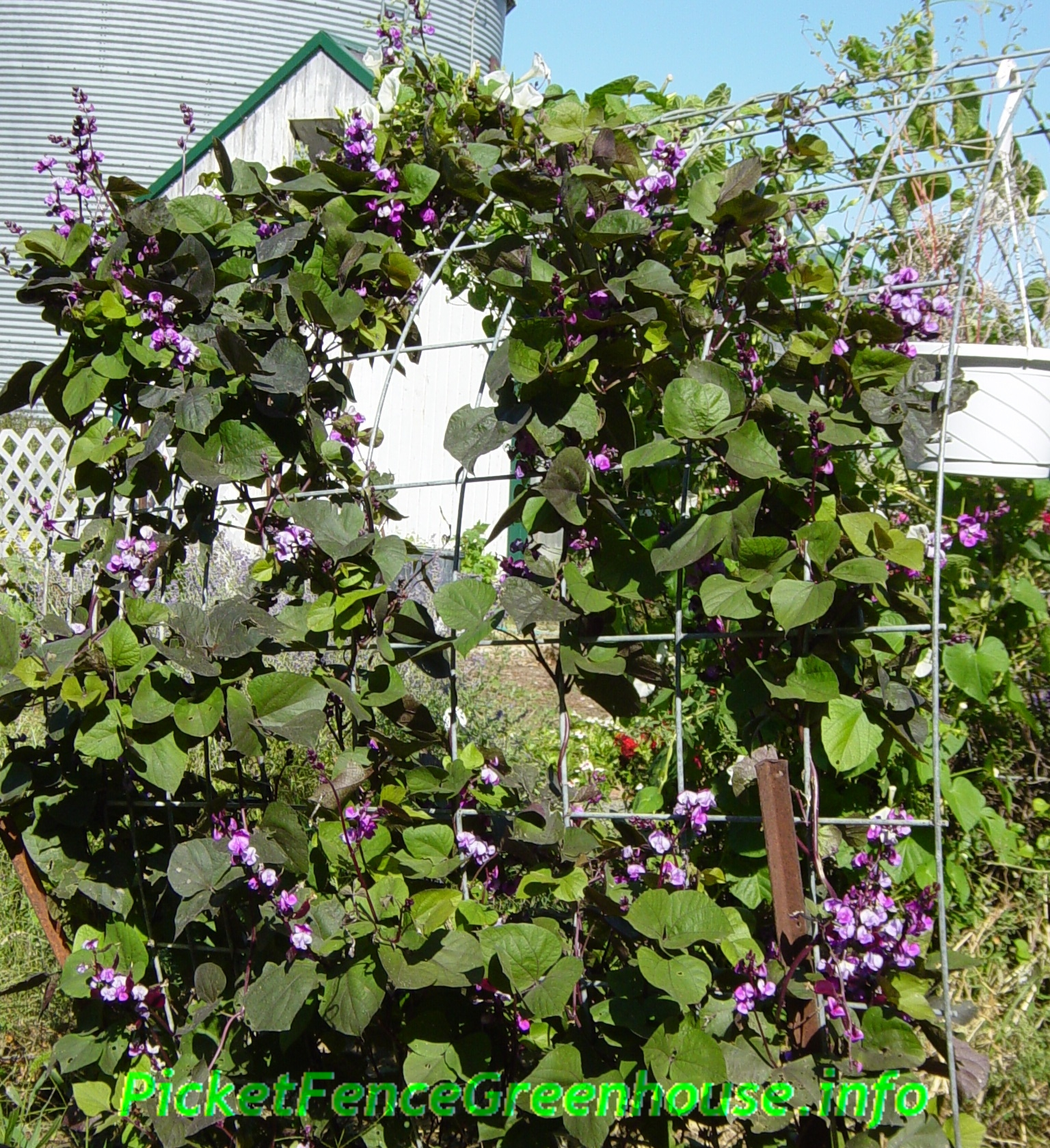 flowering vine Archives - Picket Fence Greenhouse/ Gardens ...