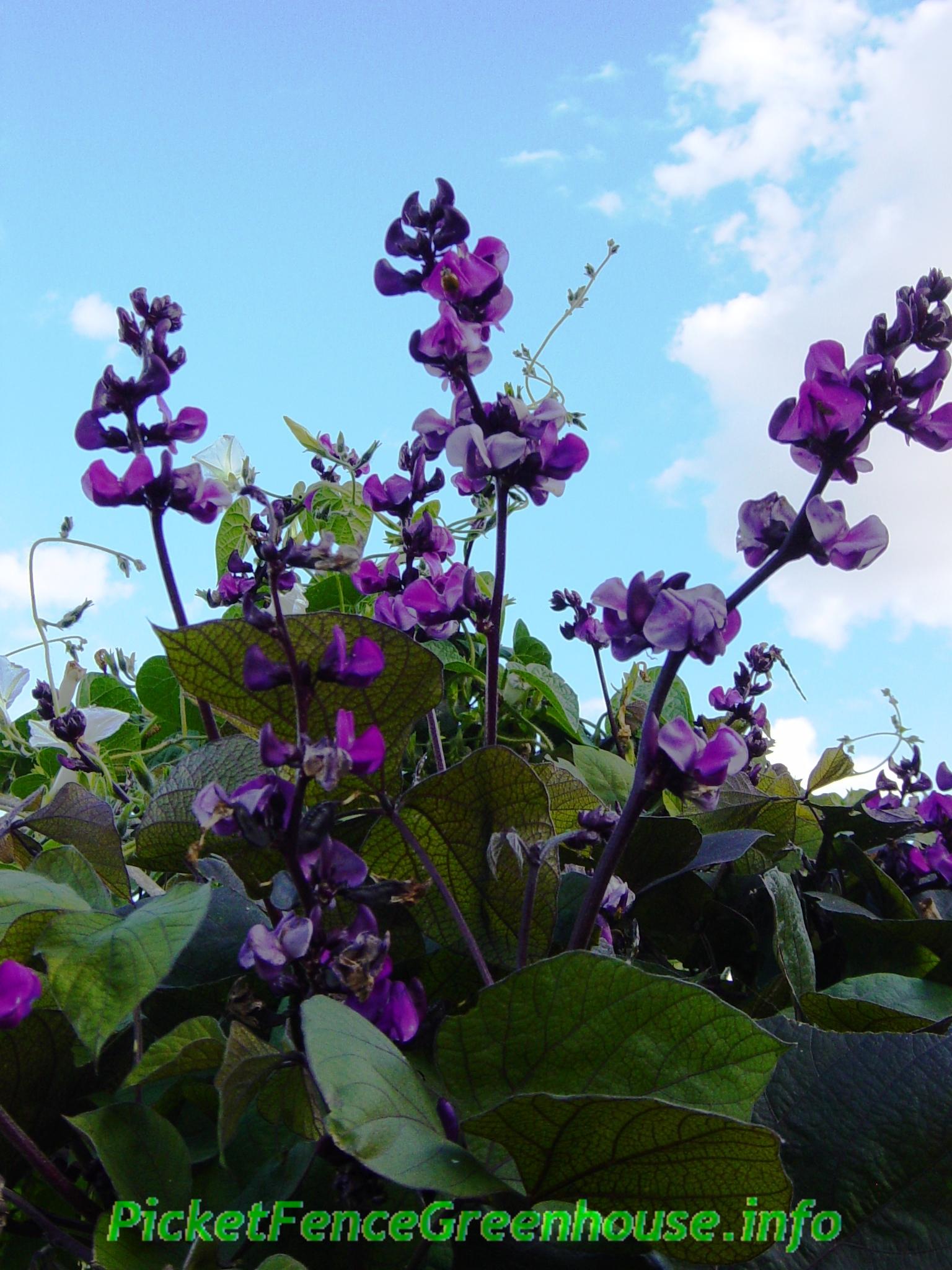 Purple Hyacinth Bean Vine Flowering Vines Picket Fence Greenhouse Garden