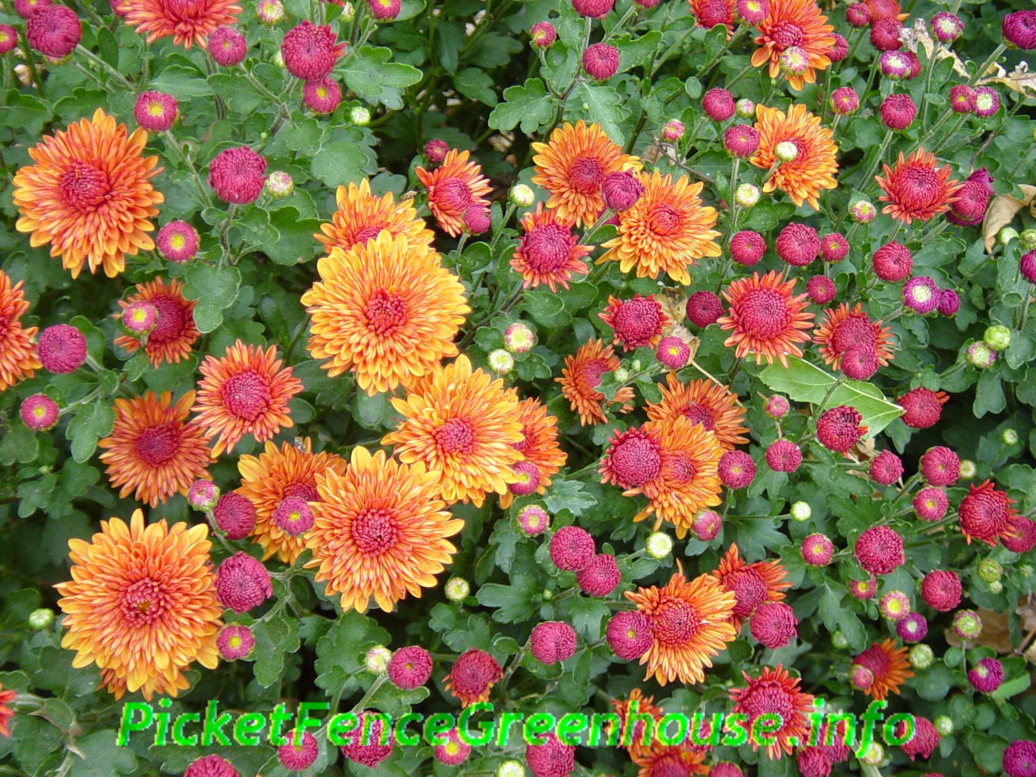Picket Fence Greenhouse Iowa Gardening mums flowers