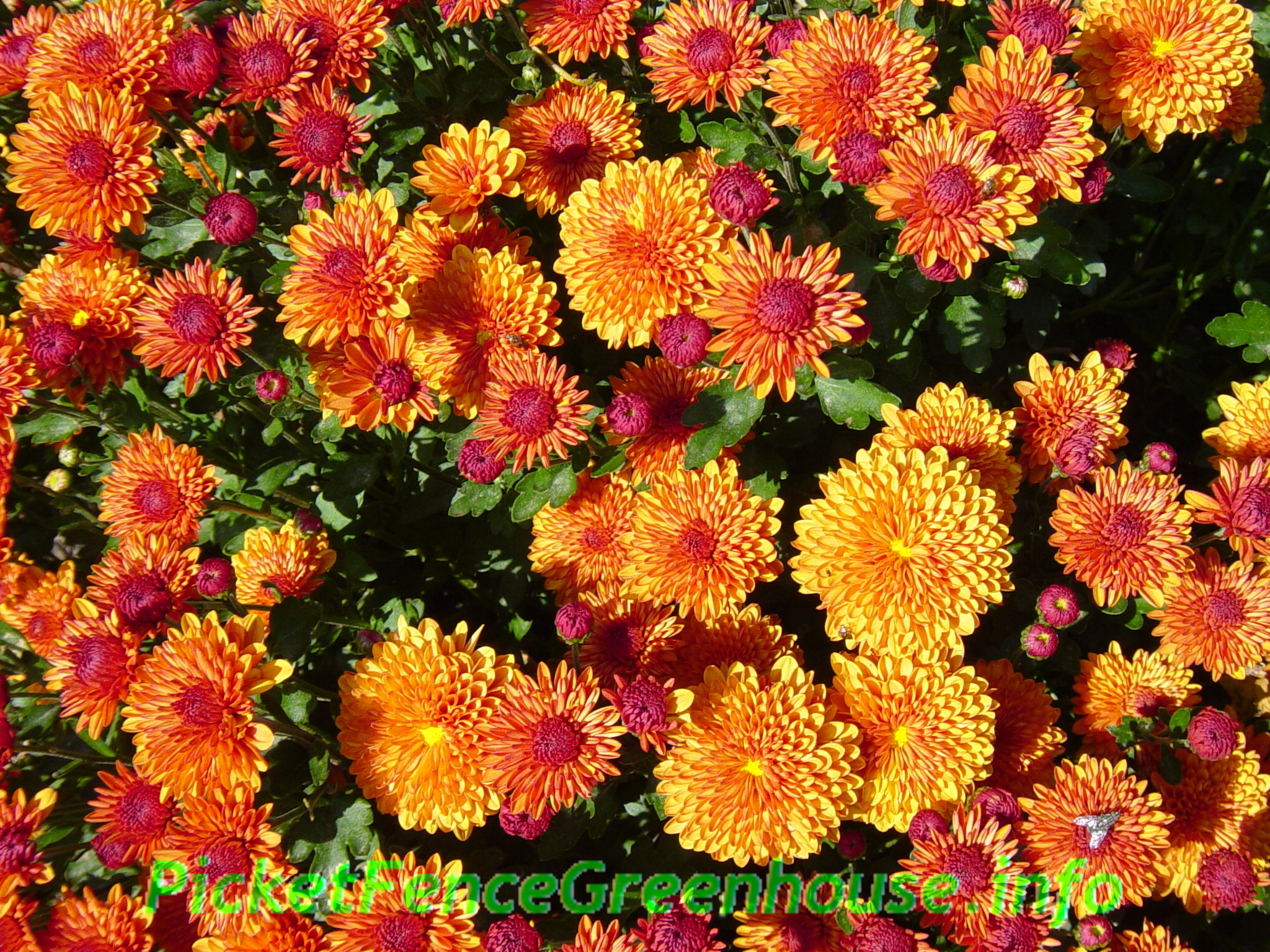 How to Grow Mums Planting Fertilizing Pinching
