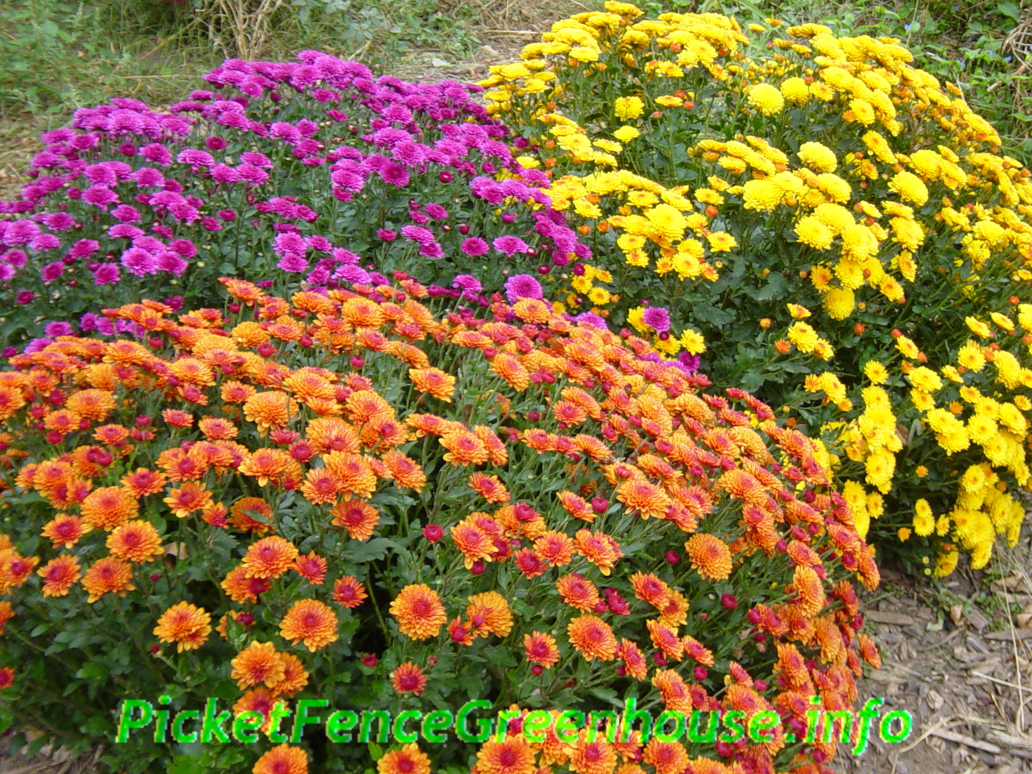 How to Grow Mums Planting Fertilizing Pinching Transplanting Picket Fence