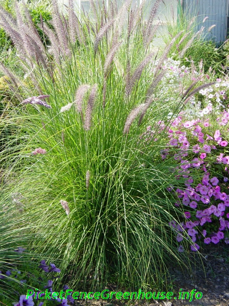 How to grow pennisetum mountain ruby grass picket fence for Tall ornamental grasses for pots