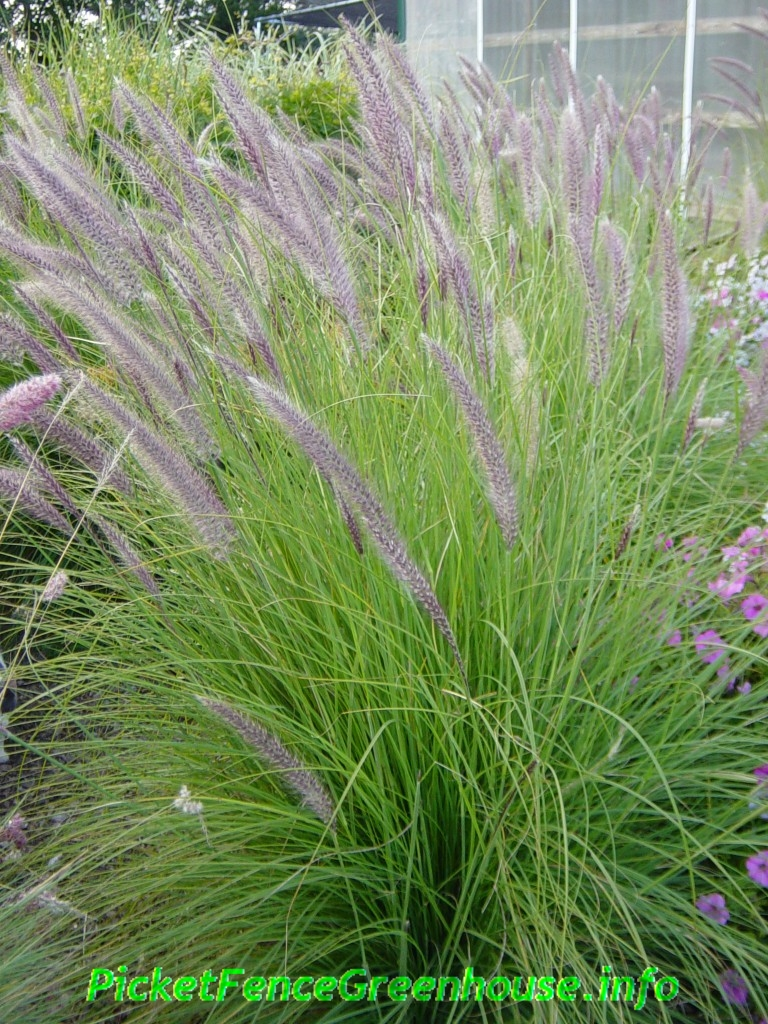 How to grow pennisetum mountain ruby grass picket fence for Decorative tall grass plants