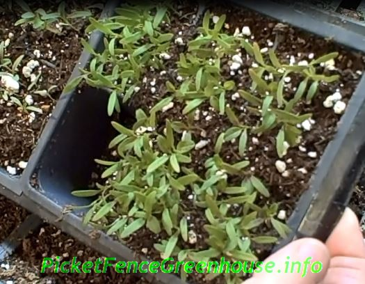 amaranthus joseph coat seedlings