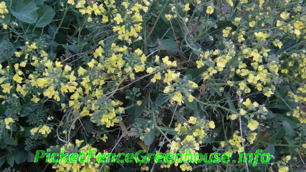 Broccoli Plants Blooming